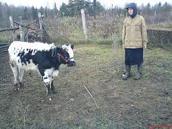 Дойка бычка мужика фото 230-536