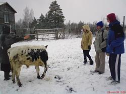 Дойка бычка мужика фото 230-4
