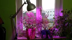 Нажмите на изображение для увеличения.  Название:Туласи Дины с лампой.jpg Просмотров:36 Размер:52.1 Кб ID:9804